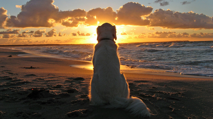 Dog-on-the-Beach-at-Sunset-Wallpaper