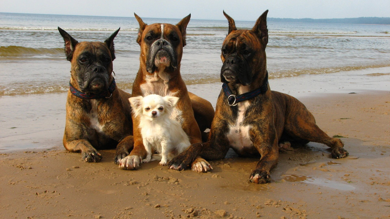 Dogs-At-Beach