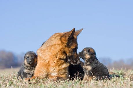 column_17_puppy-and-mother-dog