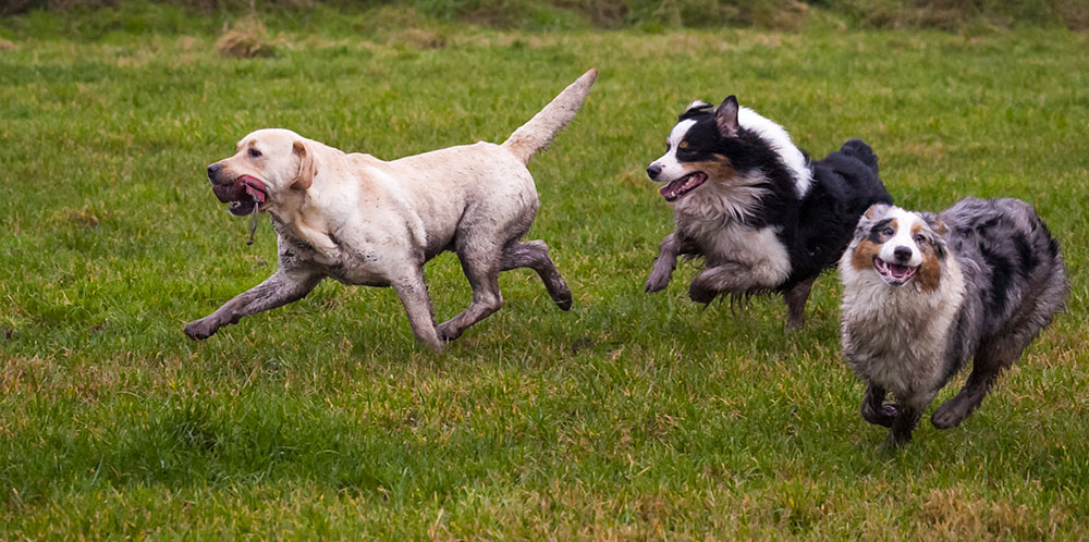 dogs-playing-parklow